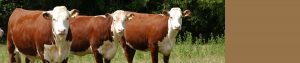 Promoting the Hereford Breed in Northern Ireland