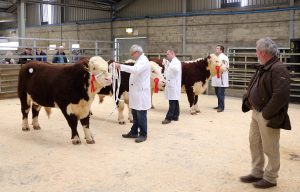 18 Oct 2016 - Judging gets underway at Tuesday's Hereford show and sale, Dungannon. Picture: Cliff Donaldson