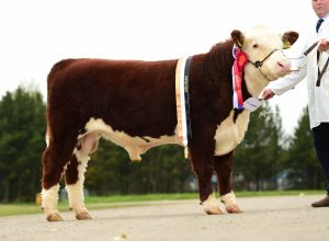 Overall Male and Senior Male Champion Solpoll 1 Nomad owned and bred by J&W McMordie