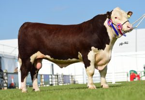 Supreme Champion Panmure 1 Monster owned by the Haire Family