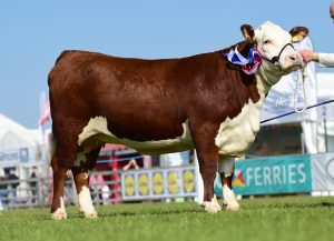 Champion Female Dorepoll 1 Catalina owned and bred by the Haire Family