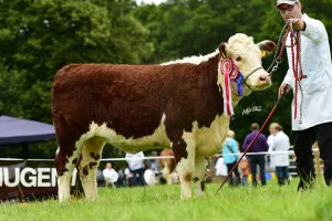 Mark Moore's Heifer Annaghbeg Delilah who won one of the heifer classes on the day