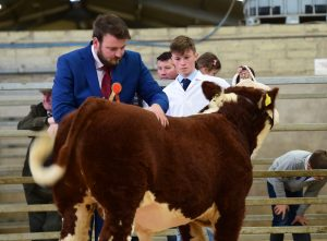 Judge James Ludgate inspecting the junior Bull of Ethan Small