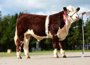 Supreme Bull and senior Bull Champion Solpoll 1 Pirate owned and bred by J&WMcMordie